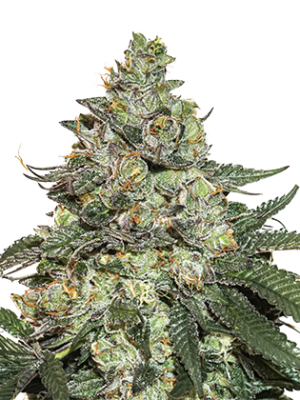 Girl Scout Cookie Auto